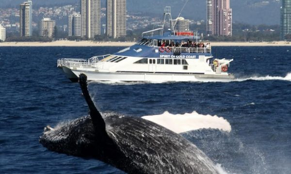 spirit gold coast whale watching